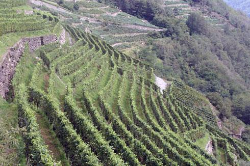 Vigneti terrazzati tipici della Liguria